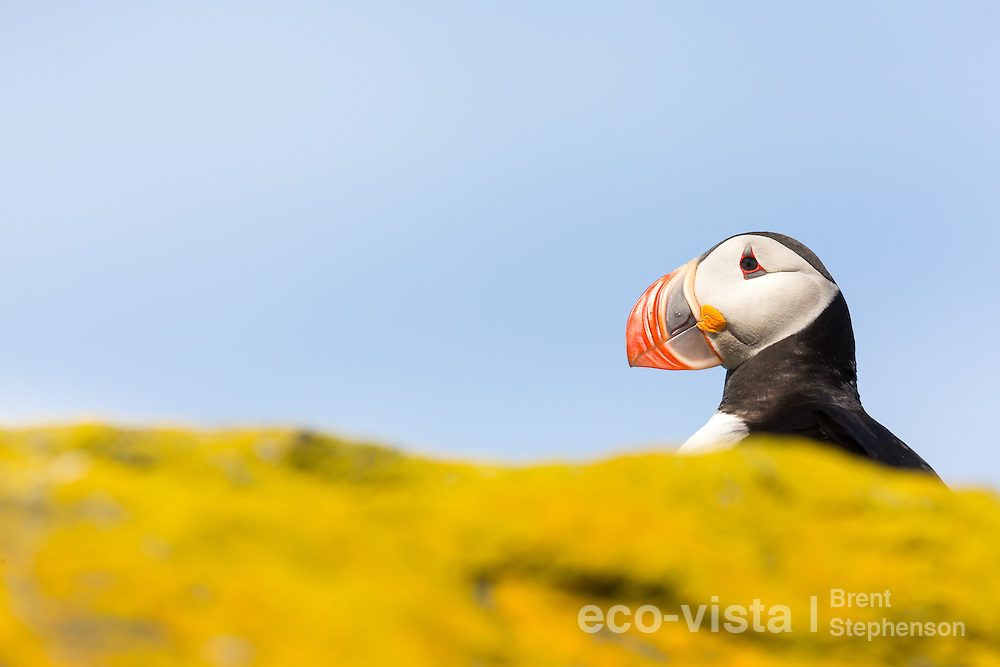 An Atlantic puffin (Fratercula arctica) stands on a rock overlooking the sea, with colourful yellow lichens in the foreground and a blue sky background. Vigur Island, Isafjardardjup, Iceland. July.