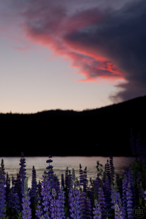 """""""Lupine Sunset 3"""" - This sunset and lupine flowers were photographed at Lake Forest Beach Park, just outside of Tahoe City, CA."""
