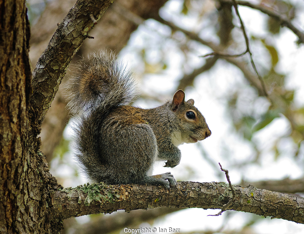 Grey squirrel sitting in a Live Oak tree in Ft Lauderdale,Florida.