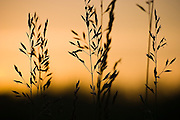 Fowl bluegrass (Poa palustris) silhouetted at sunset in Union Bay Natural Area, Seattle, Washington.