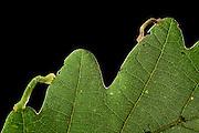 Maiden's blush (Cyclophora punctaria) on oak leaf. Niedersechsische Elbtalaue Biosphere Reserve, Elbe Valley, Lower Saxony, Germany | Raupe des Gepunkteten Eichen-Gürtelpuppenspanners (Cyclophora punctaria)