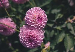 THEMENBILD - pinke Dahlien (Dahlia) sind beliebte Herbstblumen, aufgenommen am 29. Septembert 2019 in Saalfelden, Oesterreich // pink dahlias (Dahlia) are popular autumn flowers, in Saalfelden in Austria on 2019/09/29. EXPA Pictures © 2019, PhotoCredit: EXPA/Stefanie Oberhauser