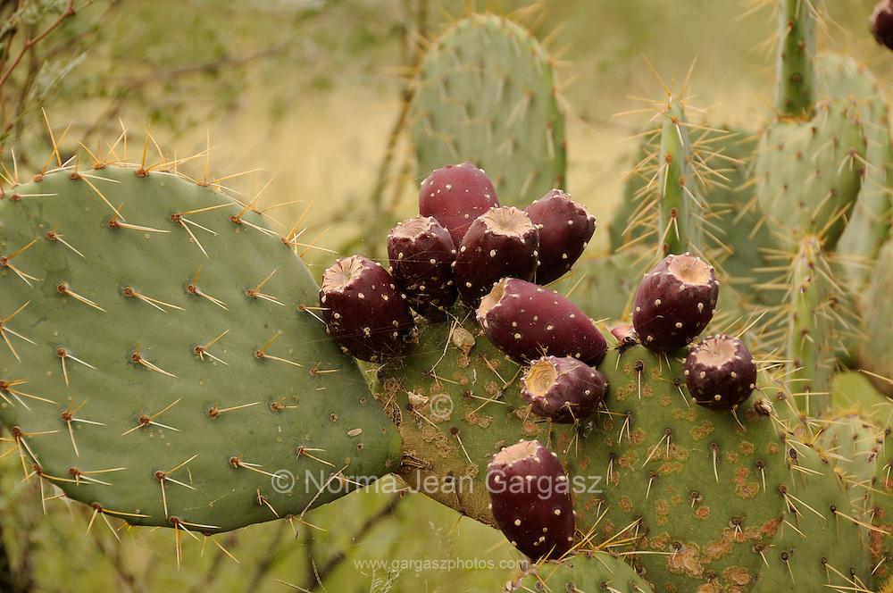 Prickly pear cactus bear fruit in Madera Canyon in the Santa Rita Mountains, a Sky Island in the Coronado National Forest, Sonoran Desert, Green Valley, Arizona, USA.