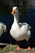 Un'anatra sulle rive del Lago di Segrino..A duck on the shore of Segrino lake.