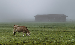 THEMENBILD - eine Kuh auf einer Weide vor einer Scheune im Nebel, aufgenommen am 09. Oktober 2019 in Kaprun, Oesterreich // a Cow on a pasture in front of a barn in the fog in Kaprun, Austria on 2019/10/09. EXPA Pictures © 2019, PhotoCredit: EXPA/ JFK