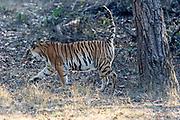 """The Bengal tiger (Panthera tigris tigris) known as T-32 """"Umarjhola"""" (""""Broken Tail"""") sent marking on a tree in Kanha National Park, Madhya Pradesh, india."""