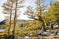 A woman walking into a forest of Larch trees, Enchantment Lakes Wilderness Area, Washington Cascades, USA.