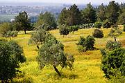 Olive tree plantation. Photographed in Ramat Hanadiv, Israel in Spring
