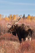 Bull moose during the autumn rut in Wyoming