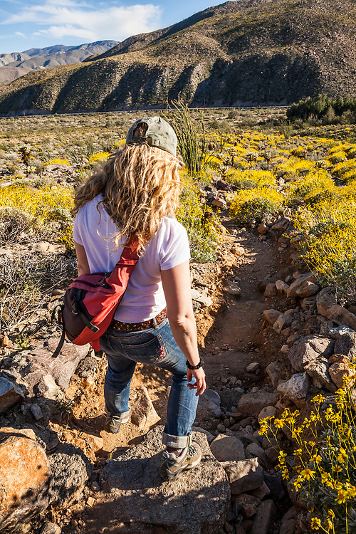 The desert bloom 2017. A woman hikes in Anza Borrego Desert State Park, California, USA. Near Tamarisk Grove Campground on Yaqui Pass Road and state route 78.