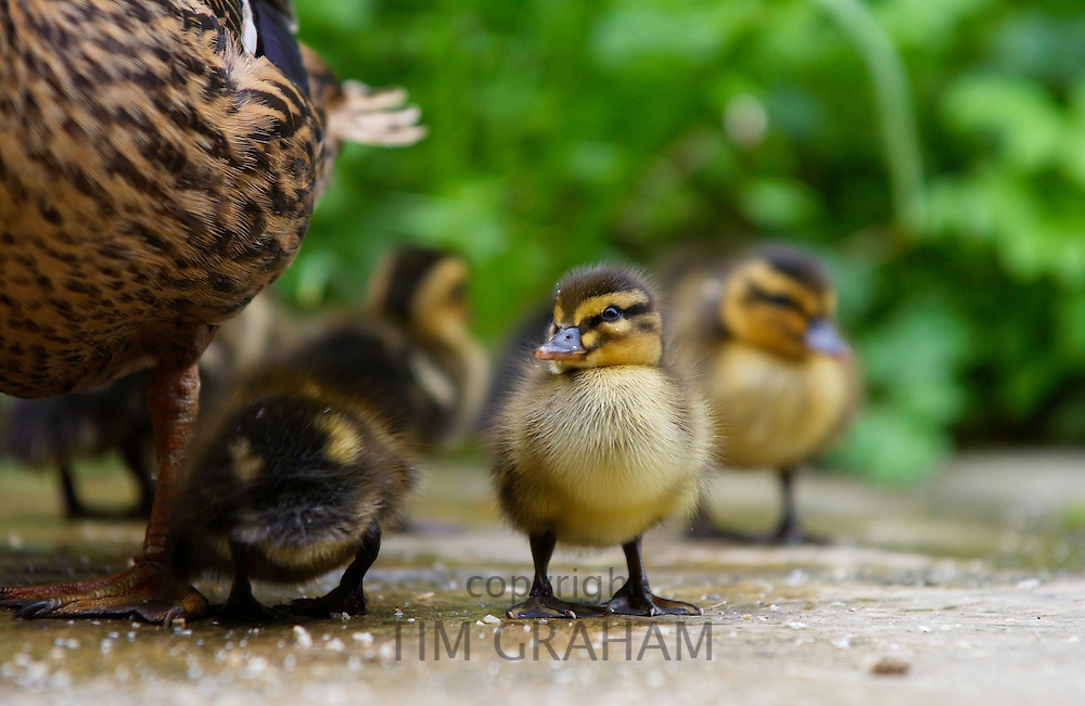 Mallard ducklings just one day old