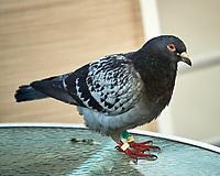 Rock Pigeon (Columba livia). Lisbon, Portugal. Image taken with a Nikon Df camera and 70-200 mm f/4 VR lens.