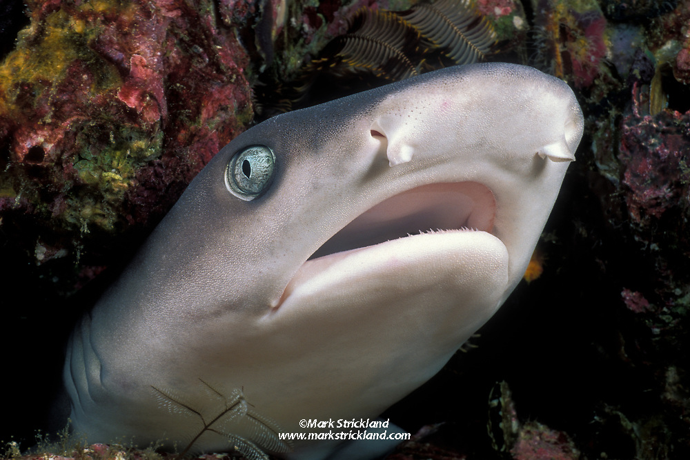 This White-tip Reef Shark, Triaenodon obesus, apparently feels so secure in the crevice it is wedged into that it allowed the photographer to approach within a few inches. Western Rocky, Mergui Archipelago, Myanmar, Andaman Sea