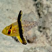 Pajama Cardinalfish shelter in branching corals. Picture taken Palau.