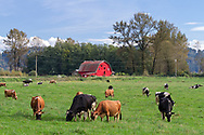 A red barn and a herd of dairy cows grazing in their field at Glen Valley in Langley, British Columbia, Canada.