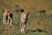 Cheetah, Acinonyx jabitus, Masai Mara, Kenya, Africa, Female walking with two cubs behind