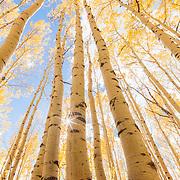 The sun peaks behind tall golden aspen trees in the fall. Bonanza Flats, Utah
