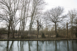 Harefield, UK. 13th February, 2021. A view across a frozen Grand Union Canal towards an area of Denham Country Park almost cleared of mature trees by contractors working on behalf of HS2 Ltd for pylon relocation works connected to the HS2 high-speed rail link.