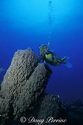 diver examines giant barrel sponges, Xestospongia muta, Ambergris Caye, Belize, Central America ( Caribbean Sea  MR 106