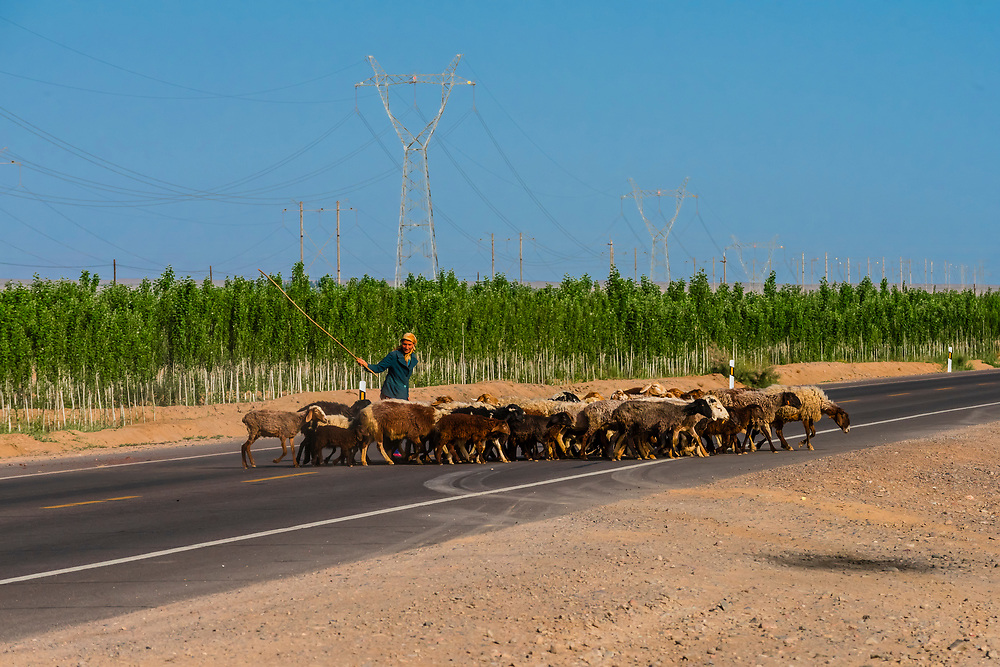 A woman herds her goats across the road which is the Southern route of the ancient Silk Road, along the edge of the Taklamakan Desert, Xinjiang Province, northwest China.