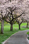 Spring Cherry blossoms along the South Creek Trail in Stanley Park in Vancouver, British Columbia, Canada