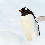 A Gentoo penguin (Pygoscelis papua) walking on the clean white snow at Neko Harbour on the Antarctic Peninsula.