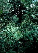 Jungle, Golfito National Park, Costa Rica, cycads zamia-dwarf palm