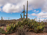 Large specimen of Engelmann's Prickley Pear (Opuntia engelmannii) from Organ Pipe Cactus National Monument, southern Arizona.