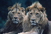 Male lions at rest.