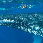 Humpback Whale (Megaptera novaeangliae) underwater with people snorkeling. Caribbean Ocean
