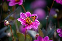 Tortoiseshell butterfly  - Aglais urticae - on Dahlia Happy Single Juliet syn. 'Hs Juliet'  - Happy Single Series