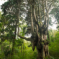 Chichi-sugi Japanese Cedar is an ancient tree located deep in the forest on Dogo, the largest island of the Oki Islands, Shimane Prefecture, Japan. The Oki Islands is part of the Daisen-Oki National Park and is a UNESCO Global Geopark.
