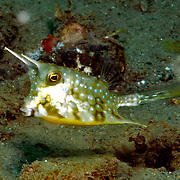 Longhorn Cowfish inhabit sand and mud bottoms. Picture taken Ambon, Indonesia.