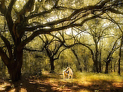 A white horse under beautiful Live Oaks.