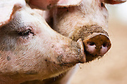 Gloucester Old Spot pigs, Gloucestershire, United Kingdom RESERVED USE - NOT FOR DOWNLOAD -  FOR USE CONTACT TIM GRAHAM