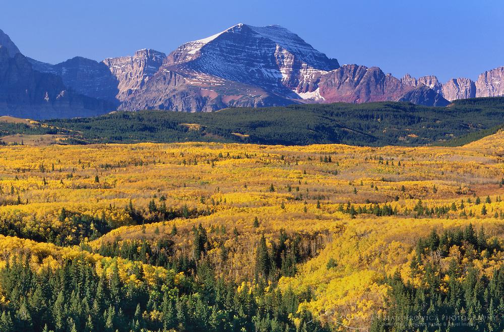 Aspen parkland (Populus tremuloides) in autumn, Glacier National Park Montana USA