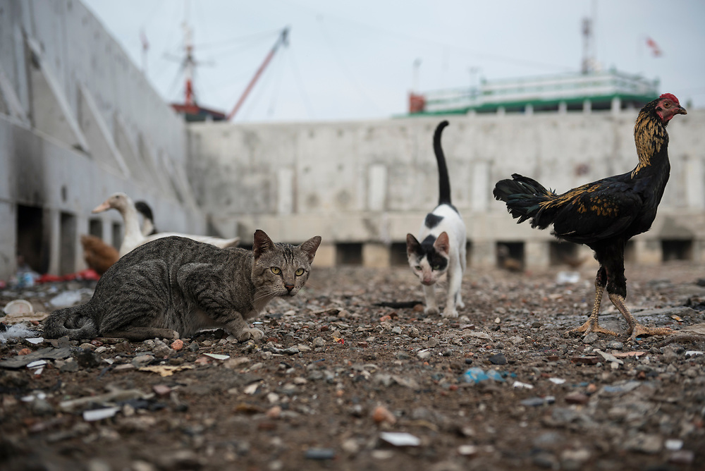 Jakarta, Indonesia - July 9, 2017: An unusual assortment of animals — cats, ducks, and a rooster — live peacefully together in a poor neighborhood of Jakarta, Indonesia.