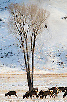 A herd of elk grazes beneath a tree filled with more than a dozen bald eagles last week on the National Elk Refuge.