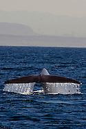 Blue Whale, Balaenoptera musculus, Dana Point, California