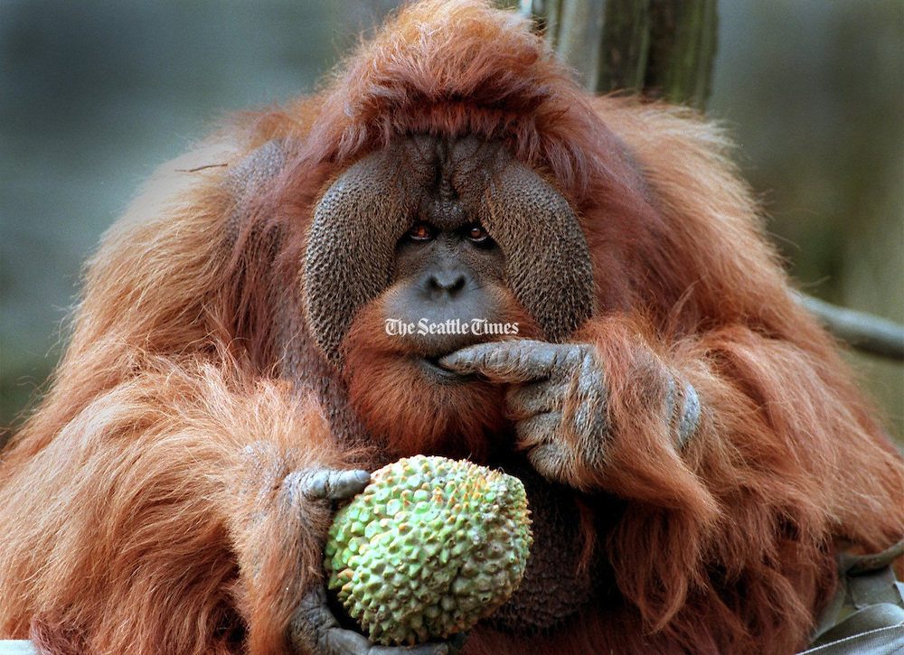 Woodland Park Zoo's orangutan, Towan, celebrates his 30th birthday in 1998 by munching on a fake durian fruit filled with peanut butter and honey. (Greg Gilbert / The Seattle Times)