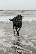 Dog on beach<br /> Little St Simon's Island, Barrier Islands, Georgia<br /> USA
