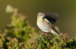 Willow Warbler (Phulloscopus trochiles) in Norway