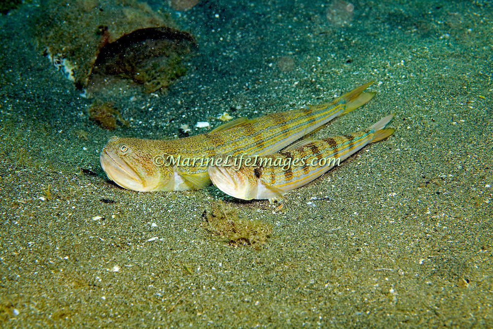 Snakefish rest on sand bottoms occasionally burying with only head visible in Tropical West Atlantic; picture taken St. Lucia.