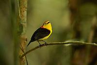 Wire-tailed Manakin (Pipra filicauda).Male at display perch...Tiputini Biodiversity Station, Ecuadorian Amazon.
