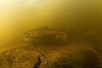Atlantic salmon (Salmo salar)<br /> Spawning migration upstreams, Umeälven, Sweden<br /> Atlantischer Lachs (Salmo salar)<br /> Laichwanderung, Umeälven, Schweden<br /> Saumon atlantique (Salmo salar)<br /> Migration dans la rivière Umeälven, Suède<br /> 17-07-2009