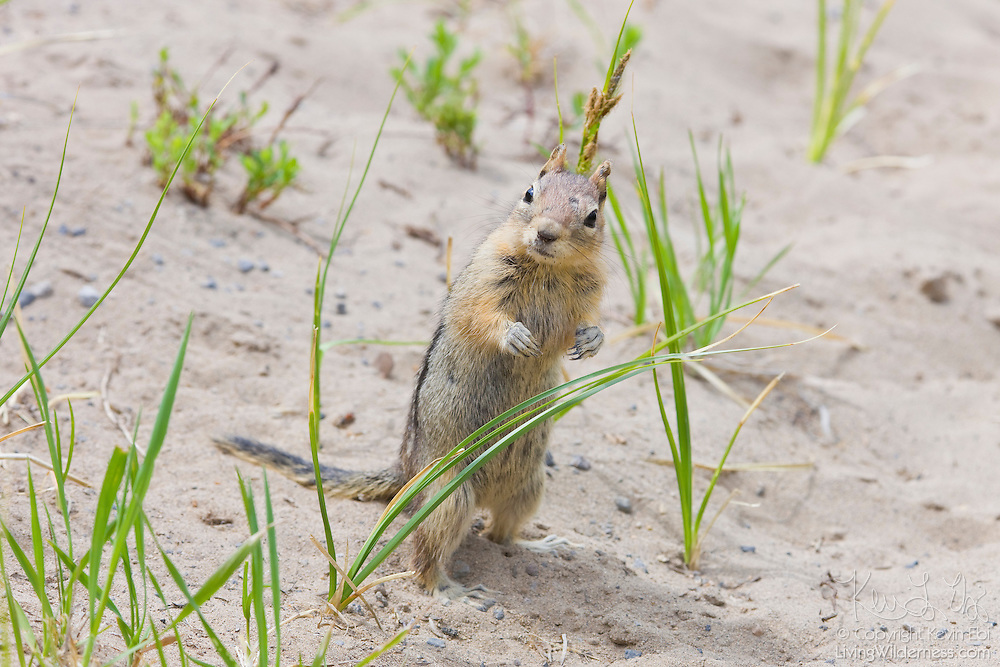 A golden-mantled ground squirrel (Spermophilus lateralis) looks out from grasses that are nearly as tall as it is. The squirrel, typically 9 to 12 inches in length, is found in forests throughout North America. This one was found on the rim of Crater Lake, Oregon.