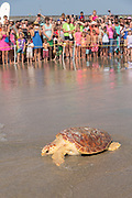 Crowds of beach goers watch Mitchell, a 65-pound juvenile loggerhead sea turtle crawl back to the ocean during the release of rehabilitated sea turtles August 6, 2014 in Isle of Palms, South Carolina. The turtle was found entangled in a fishing line, malnourished and covered in barnacles and rehabilitated by the sea turtle hospital at the South Carolina Aquarium in Charleston.