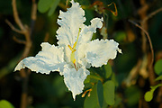 Flower of Coffee neat's foot, Bauhinia petersiana, Limpopo, South Africa, shrub or small tree usually growing on Kalahari sand,