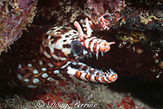 dragon moray, Enchelycore pardalis, south shore, Kauai, Hawaii, USA ( Central Pacific Ocean )