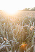 Late summer sunlight and a cornfield in Suffolk, England.